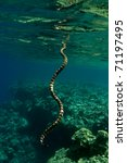 Banded Sea Krait  Laticauda...