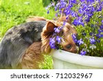 the yorkshire terrier dog... | Shutterstock . vector #712032967