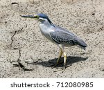 green backed heron  striated... | Shutterstock . vector #712080985