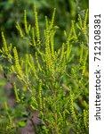 Small photo of Ragweed plants (Ambrosia artemisiifolia) causing allergy