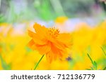 cosmos  mexican diasy  cosmos ... | Shutterstock . vector #712136779