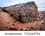 goose barnacles on the wood | Shutterstock . vector #712163701