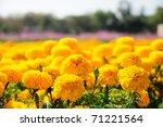 Marigold Flower Festival In...