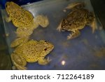 frog farm and feeding in glass...   Shutterstock . vector #712264189