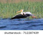 one white pelican in breeding... | Shutterstock . vector #712287439