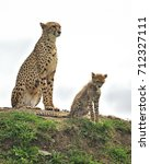 Small photo of Two Cheetahs (Acinonyx jubatus) - mother and son - sitting on the horizon