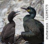 Small photo of Adult shag (Phalacrocorax aristotelis) sea bird with young.