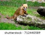 Small photo of Cute coati (Nasua), wild animal looking like raccoon
