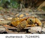 Juvenile Gopher Tortoise ...