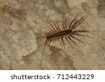 house centipede walking on the... | Shutterstock . vector #712443229