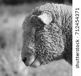 Small photo of Southdown Ram