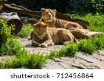 lion pride rests after hunting  ... | Shutterstock . vector #712456864