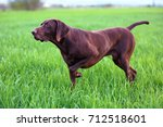 the brown hunting dog freezed... | Shutterstock . vector #712518601