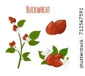 buckwheat plant  cereal grains  ... | Shutterstock .eps vector #712567591