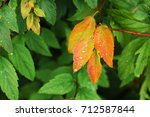 the first autumn leaves are... | Shutterstock . vector #712587844