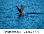 Brazilian Cormorant Or...