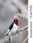 Red Headed Woodpecker Perched...