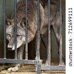 dark wolf in a cage | Shutterstock . vector #712699111