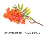Ashberry  Rowanberry  Branch...