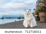 junior the turkish van cat | Shutterstock . vector #712718311