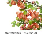 blossoming in may japanese... | Shutterstock . vector #71275420