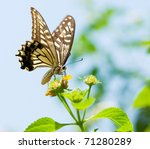 Colorful Swallowtail Butterfly...