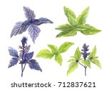 fresh green and purple basil... | Shutterstock . vector #712837621