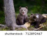Young brown bear in the forest. ...