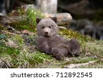 Stock photo young brown bear in the forest portrait of brown bear animal in the nature habitat cub of brown 712892545
