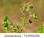 Small photo of Abutilon theophrasti, known as velvetleaf, velvetweed, Chinese jute, China jute, buttonweed, butterprint, pie-marker, or Indian mallow