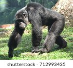 Walking Chimpanzee