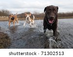 Labrador Retriever And Friends...