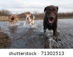 Labrador Retriever And Friends...