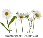 Stock photo chamomile flower isolated on white 71304763