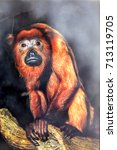 Small photo of Howling Monkey, Alouatta seniculus, speaks with a strong voice