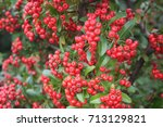 Bright Red Pyracantha Berries....