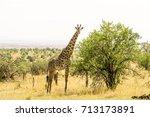 a giraffe iin serengeti... | Shutterstock . vector #713173891