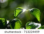green leaves with dew in the... | Shutterstock . vector #713224459
