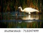 Eurasian Spoonbill  Platalea...