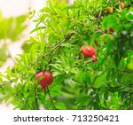 pomegranates in real life. | Shutterstock . vector #713250421