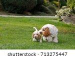 Stock photo english cocker spaniel family enjoy play in summer garden 713275447