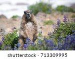 Marmot Eating Summer Flowers I...