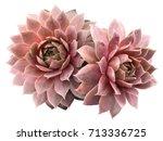 Stock photo supervivum red rubin succulents 713336725
