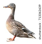 Female Mallard With Clipping...