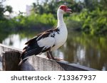 Muscovy Duck Is A Really...