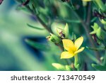 the yellow grass flowers are... | Shutterstock . vector #713470549