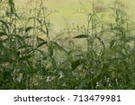 herb plant anti virus