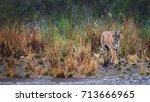 panoramic photo of wild bengal... | Shutterstock . vector #713666965