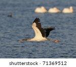 white pelicans   Shutterstock . vector #71369512