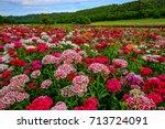 Field Of Flowers Sweet William...